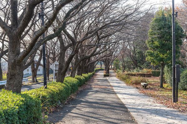 尾根緑道(春には満開の桜のトンネルになります)